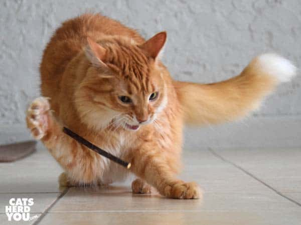 orange tabby cat plays with silvervine stick