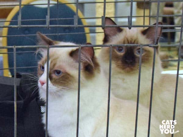 himilayan and ragdoll kittens