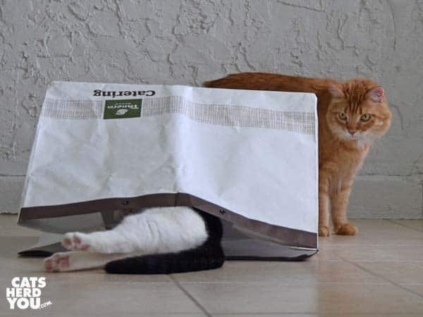 orange tabby cat looks at black and white tuxedo cat legs sticking out of bag