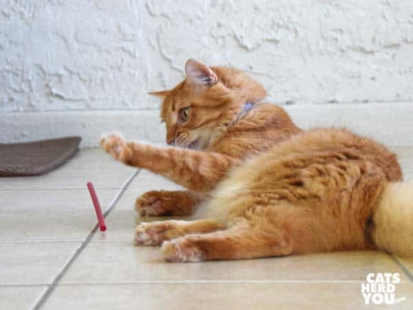 long-haired orange tabby cat plays with straw