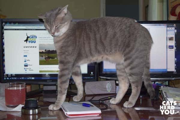 gray tabby cat stands in front of computer monitors