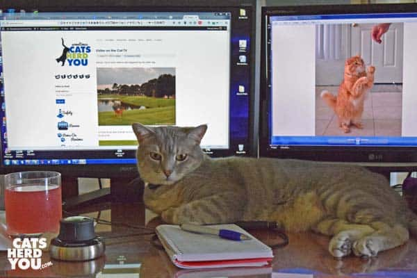 gray tabby cat sprawled on desk in front of monitors