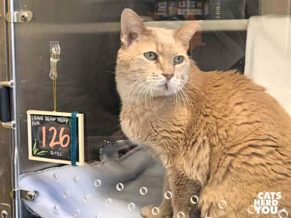 senior orange cat in adoption cage