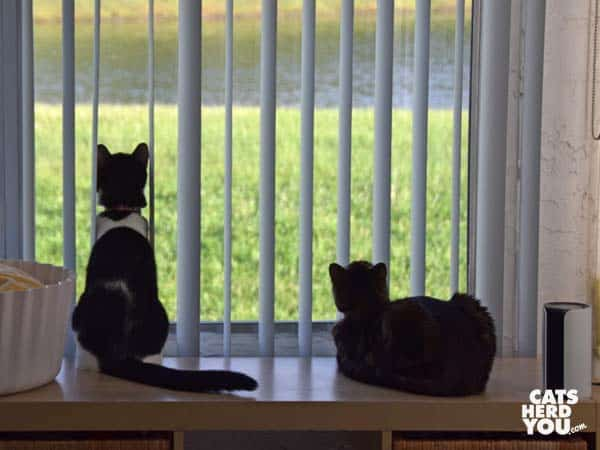 black and white tuxedo cat and one-eyed tabby cat silhouetted against window