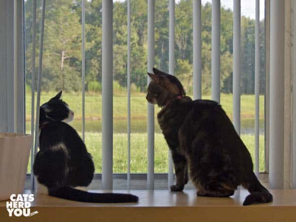 one-eyed brown tabby cat looks at black and white tuxedo cat