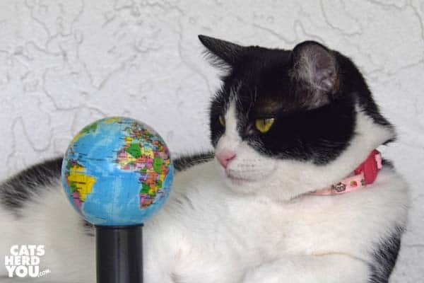 black and white tuxedo cat looks at small globe