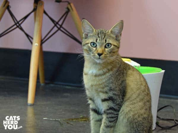 adoptable torbie kitten at Tally Cat Cafe