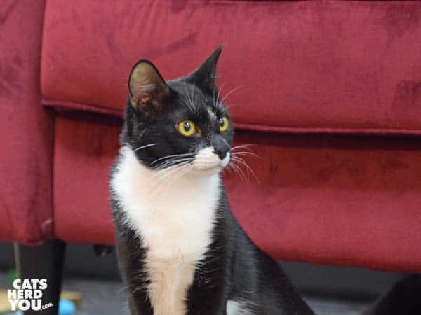tuxedo cat at Tally Cat Cafe