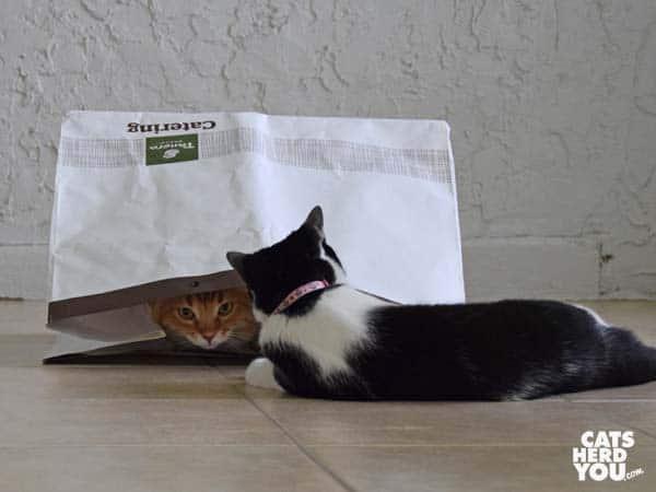 black and white tuxedo cat looks at orange tabby cat in bag