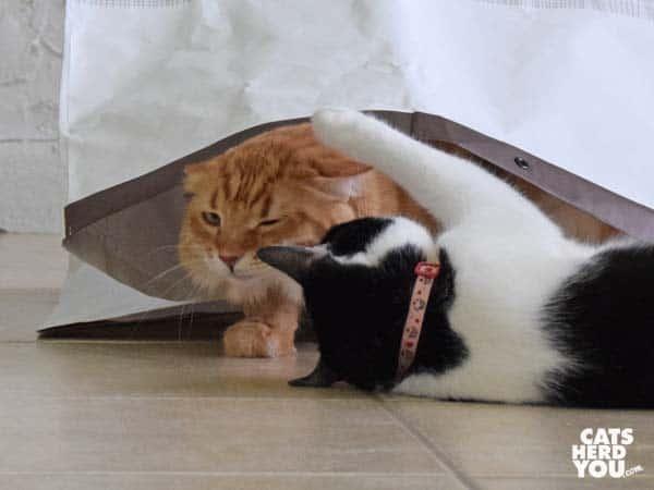 black and white tuxedo cat grabs orange tabby cat as he exits bag