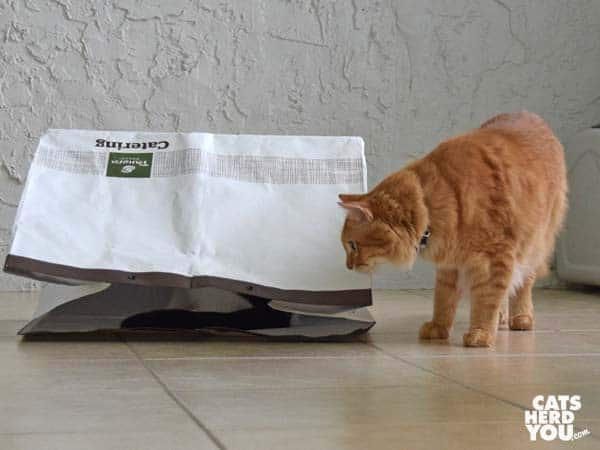 orange tabby cat looks at bag