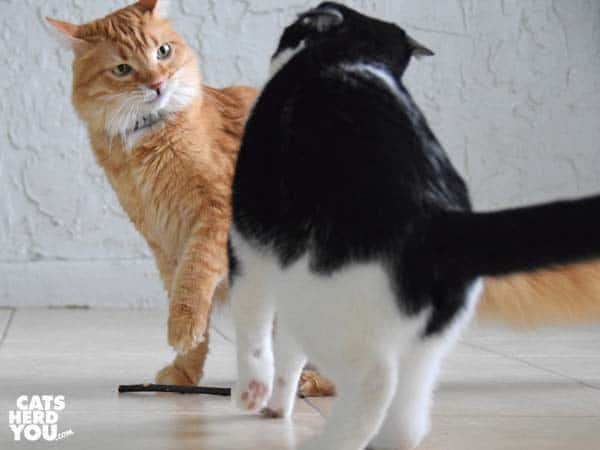 orange tabby cat fights black and white tuxedo cat