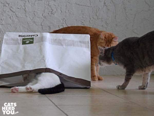 orange tabby cat and gray tabby cat look at black and white tuxedo cat legs sticking out of bag