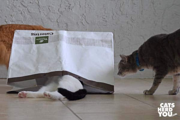 gray tabby cat looks at black and white tuxedo cat legs sticking out of bag