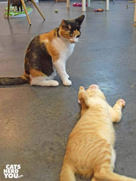 orange tabby kitten tries to play with calico cat at Tally Cat Cafe
