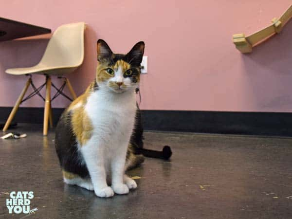 calico cat at Tally Cat Cafe