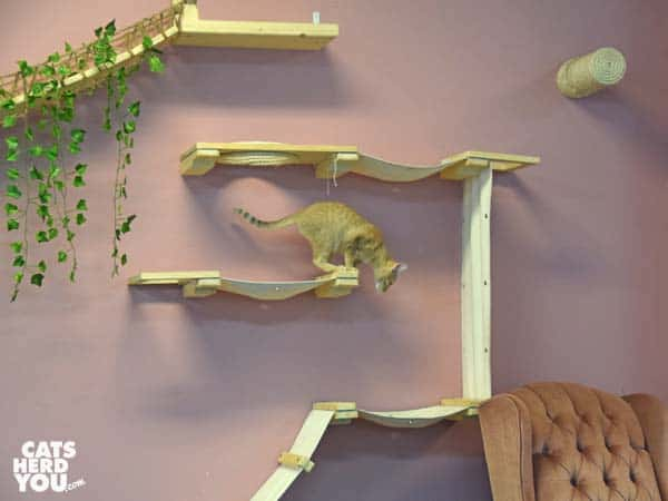 orange tabby cat climbs wall unit at Tally Cat Cafe