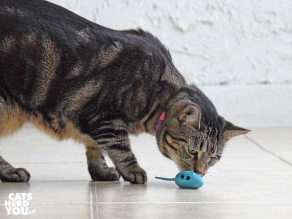 one-eyed brown tabby cat and mouse toy