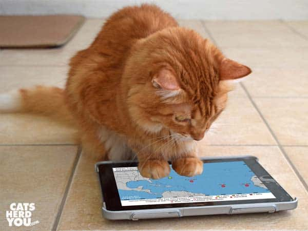 orange tabby cat looks at national hurricane canter map with three Atlantic storms