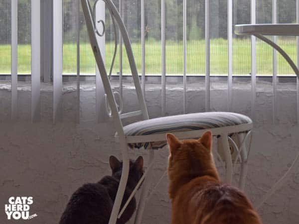 orange tabby cat and gray tabby cat look out window at lizard