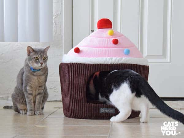 gray tabby cat looks at black and white tuxedo cat entering cupcake bed