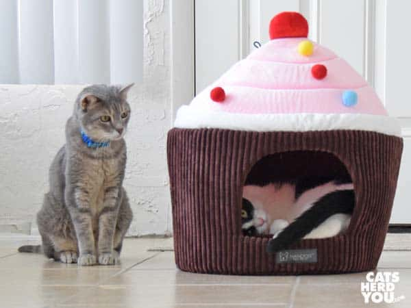 gray tabby cat looks at black and white tuxedo cat inside cupcake bed
