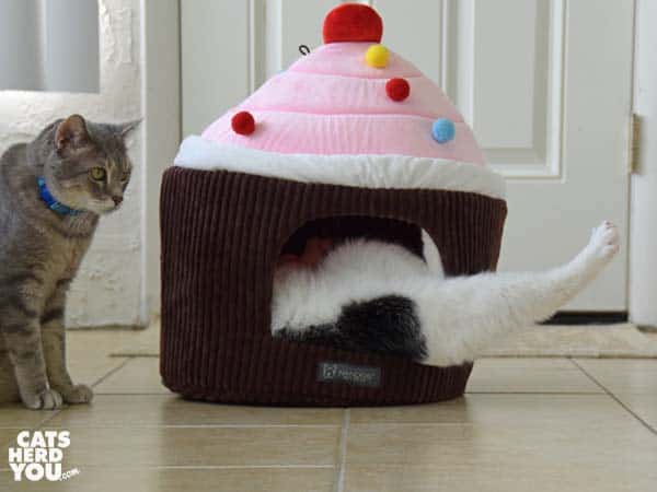 black and white tuxedo cat rolls inside cupcake bed as gray tabby cat looks on