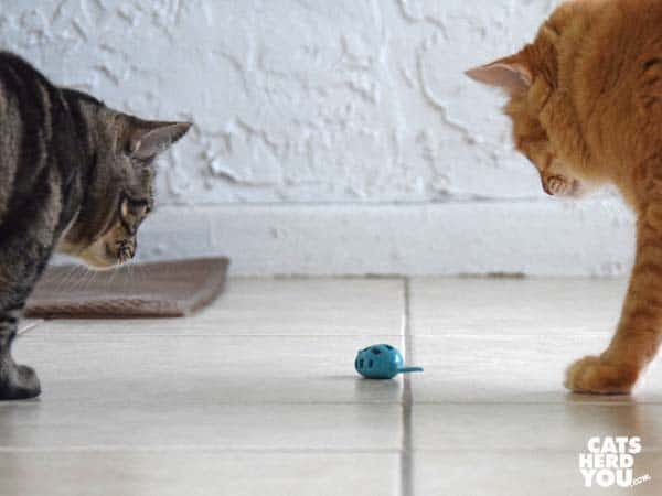 one-eyed brown tabby cat and orange tabby cat look at mouse toy