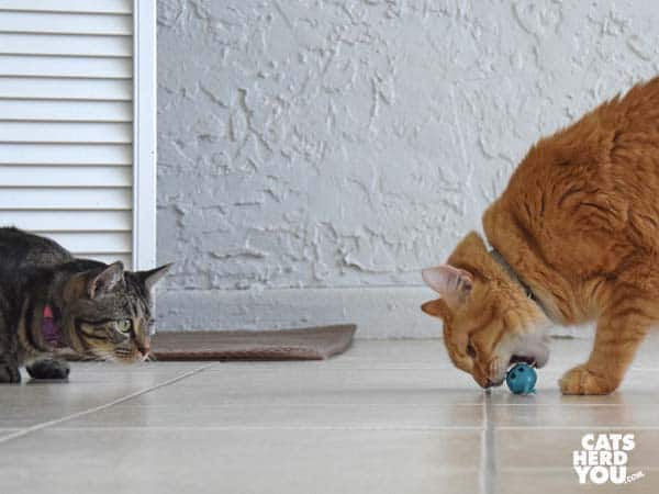 orange tabby cat bites mouse toy as one-eyed brown tabby cat looks on