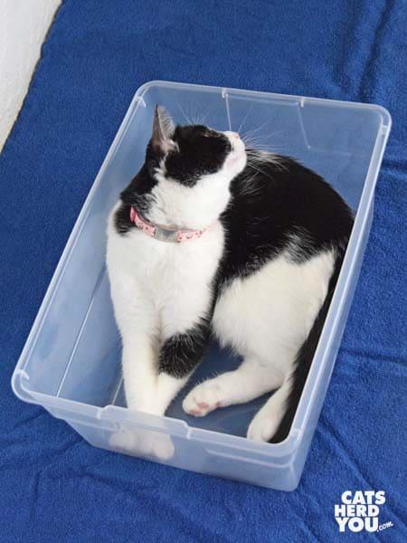 black and white tuxedo cat in plastic box
