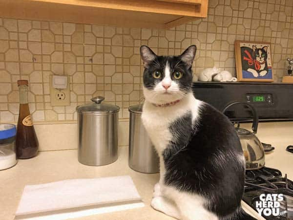 black and white tuxedo cat on kitchen counter