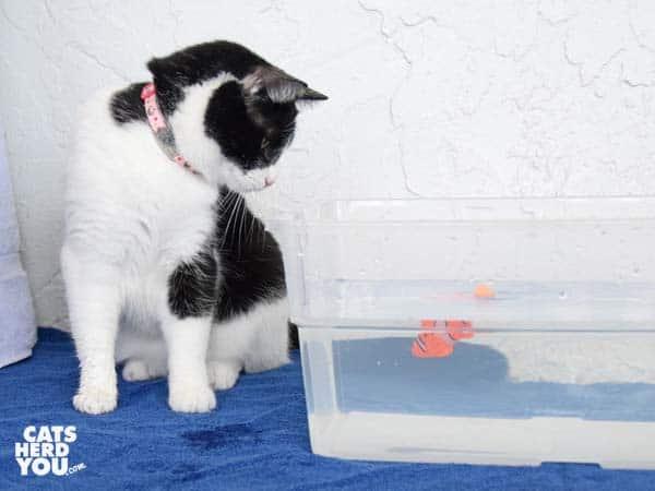 black and white tuxedo cat looks at robotic fish