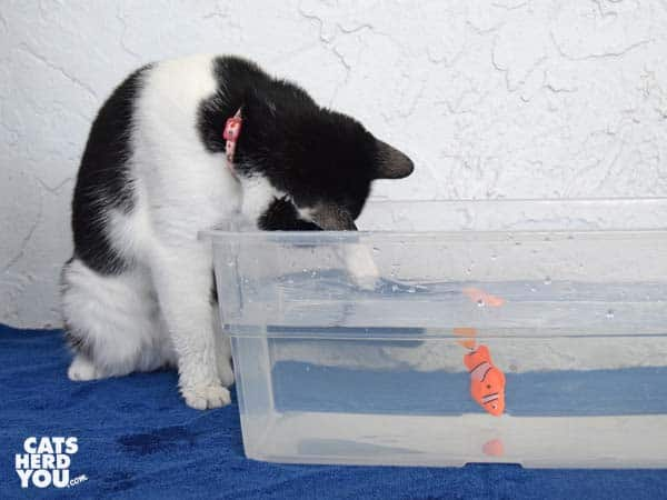 black and white tuxedo cat paws at robotic fish