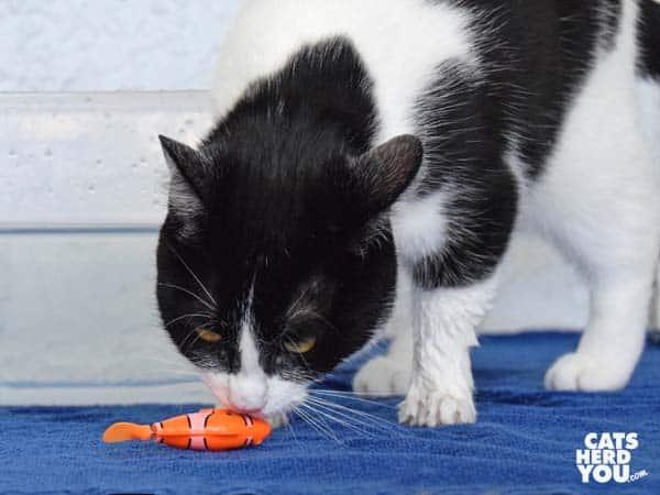 black and white tuxedo cat sniffs robotic fish