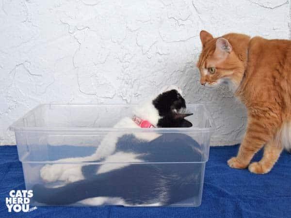 orange tabby cat looks at black and white tuxedo cat in plastic box