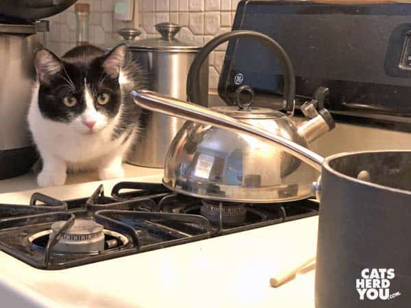 black and white tuxedo cat watches boiling pot
