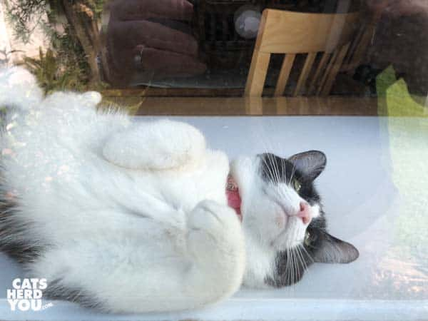 black and white tuxedo cat rolls around inside window