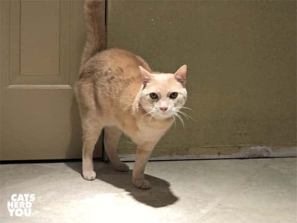 three-legged cream tabby cat