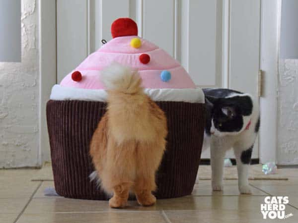 black and white tuxedo cat looks at orange tabby cat entering cupcake bed