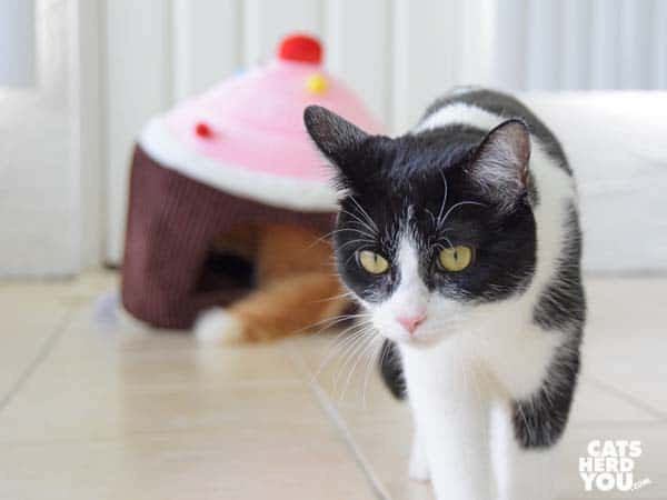 black and white tuxedo cat walks away from orange tabby cat in cupcake bed