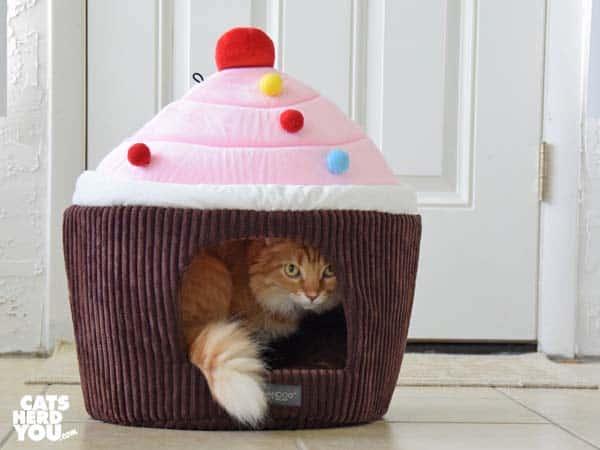orange tabby cat in cupcake bed
