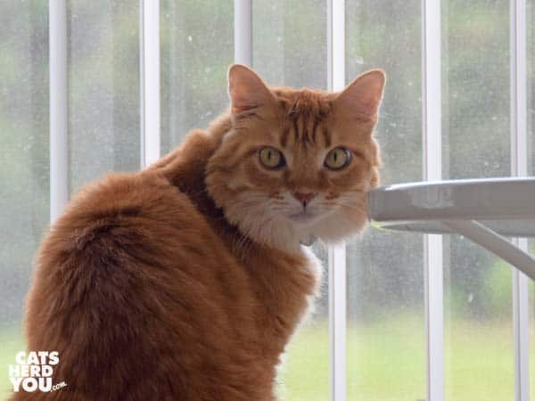 orange tabby cat looks away from window