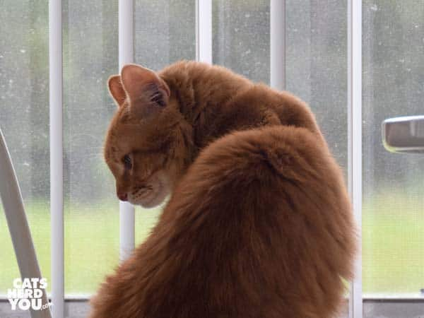 orange tabby cat by window