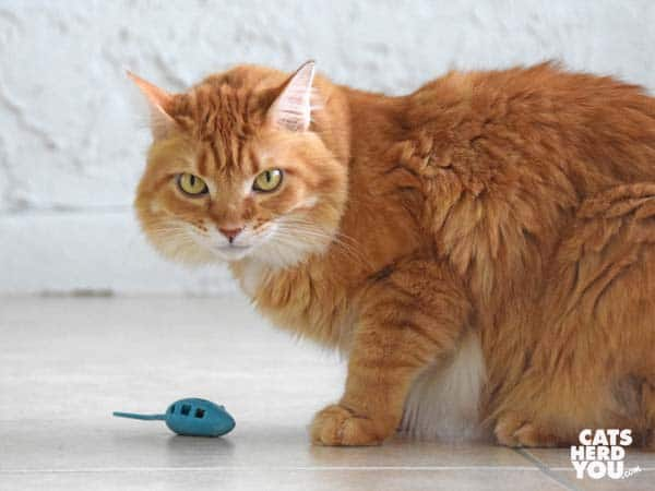 orange tabby cat and mouse toy