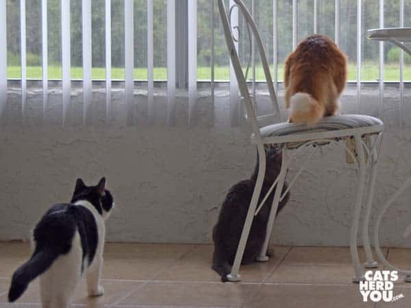 orange tabby ca, gray tabby cat, and black-and-white tuxedo cat look out window at lizard
