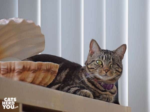 one-eyed brown tabby cat next to shell lamp
