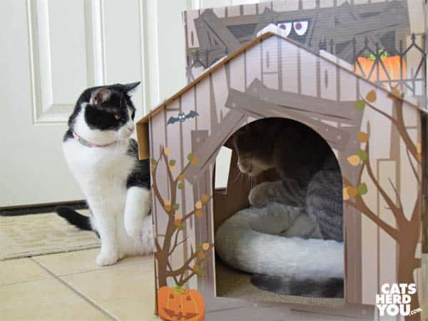 black and white tuxedo cat swats at gray tabby cat in haunted house