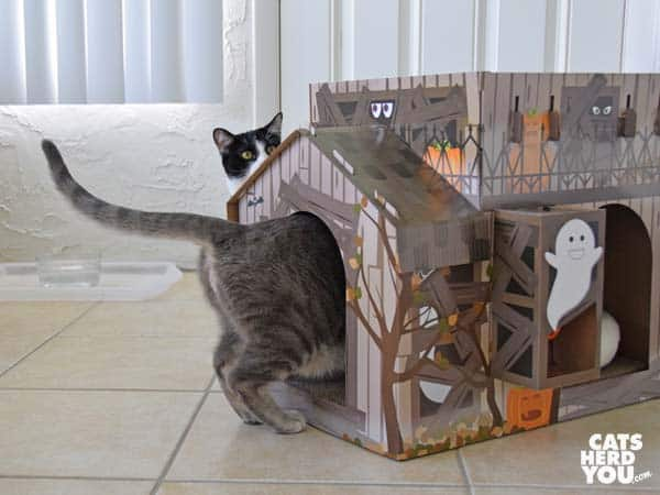 black and white tuxedo cat watches gray tabby cat enter haunted house