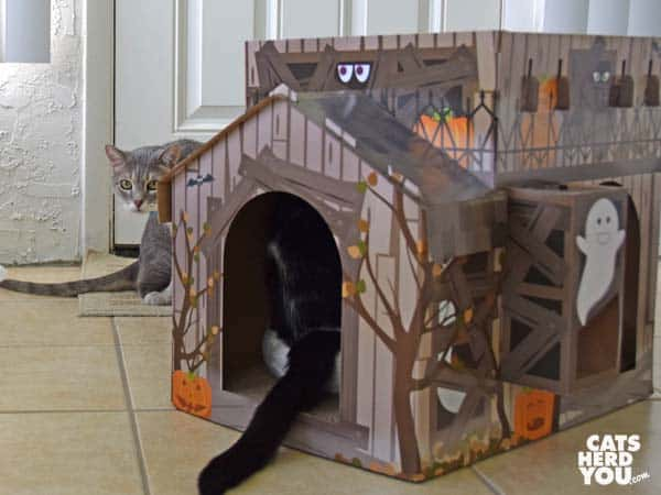 gray tabby cat looks at black and white tuxedo cat in haunted house
