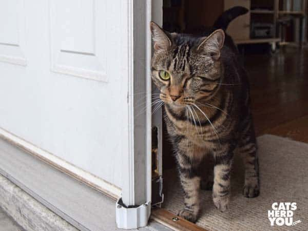 one-eyed brown tabby cat in doorway